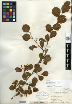Image of Crataegus bushii