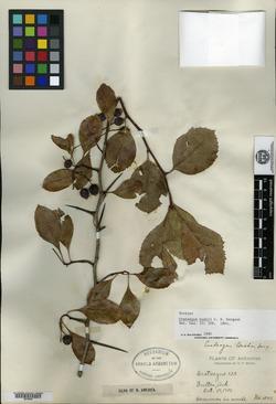 Crataegus bushii image
