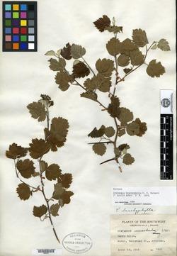 Image of Crataegus brachyphylla