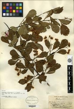 Crataegus calvescens image