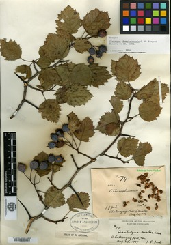 Crataegus champlainensis image