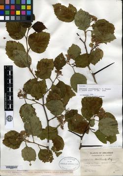 Crataegus carrollensis image