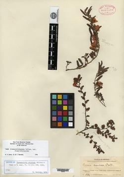 Image of Chamaecrista cruziana