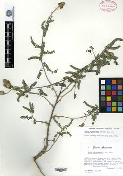 Image of Dalea cinnamomea