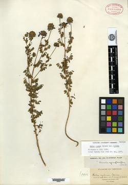 Image of Dalea cyanea