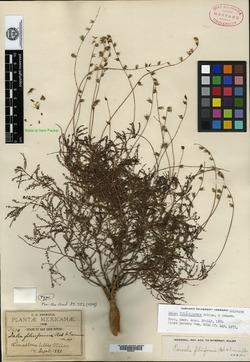 Dalea filiciformis image
