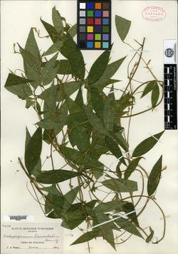 Image of Calopogonium lanceolatum