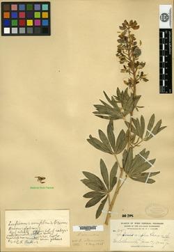 Lupinus amplus image