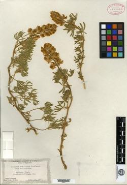 Image of Lupinus antoninus