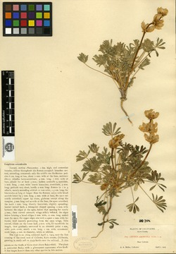 Image of Lupinus arenicola
