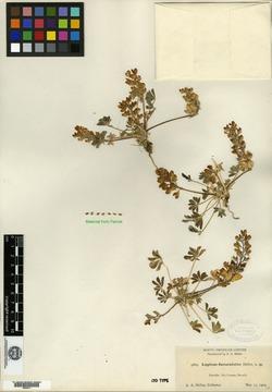 Lupinus flavoculatus image