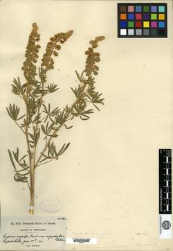 Lupinus X alpestris image