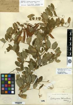 Image of Lathyrus bolanderi