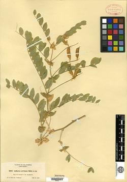 Image of Lathyrus ecirrhosus