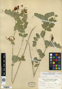 Lathyrus laetivirens image