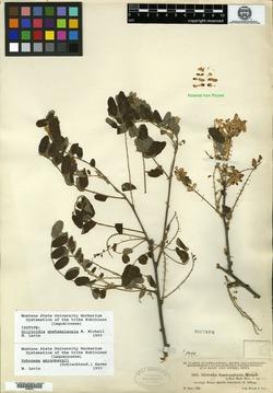 Image of Gliricidia guatemalensis