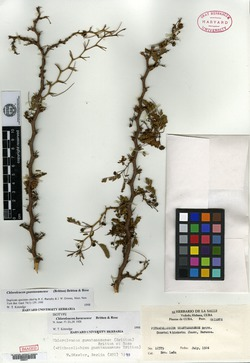 Chloroleucon guantanamense image