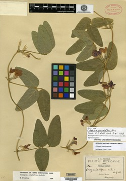Cologania grandiflora image