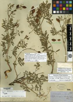 Image of Hoffmannseggia brachycarpa