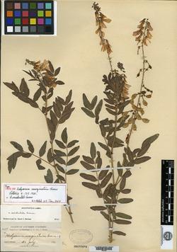 Image of Hedysarum marginatum