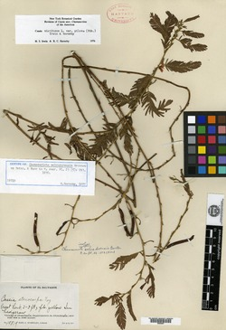 Image of Chamaecrista salvadorensis