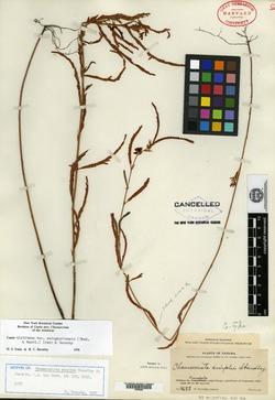 Image of Chamaecrista simplex