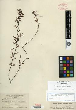 Image of Chamaecrista pygmaea