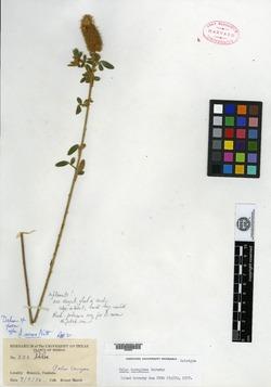 Image of Dalea boraginea
