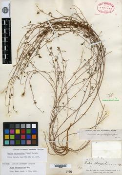 Dalea chrysorrhiza image