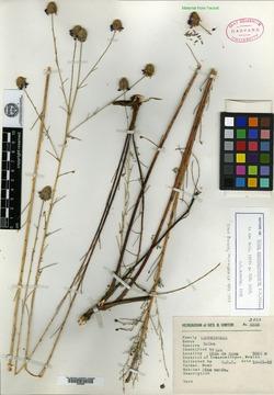 Image of Dalea cuniculo-caudata