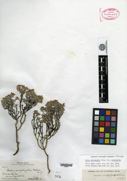 Image of Dalea eriophylla