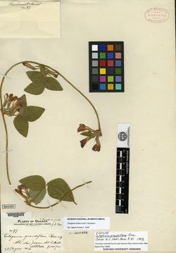 Image of Cologania grandiflora