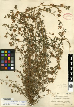 Lotus biolettii image
