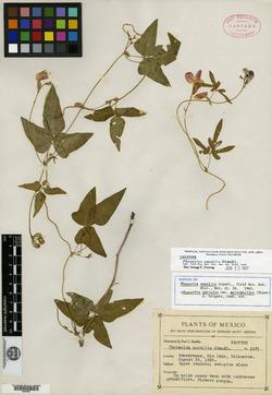 Image of Phaseolus amabilis