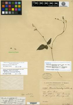 Image of Phaseolus brevicalyx