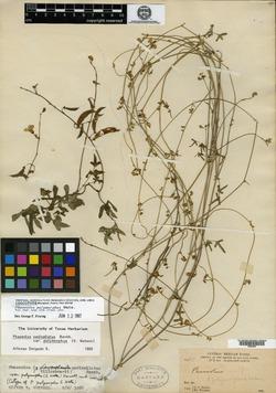 Phaseolus polymorphus image