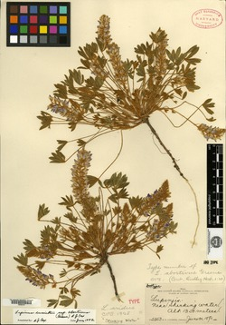 Lupinus abortivus image