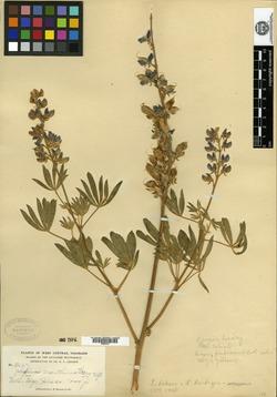 Lupinus arceuthinus image