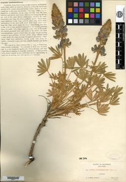 Image of Lupinus austromontanus