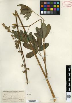 Image of Lupinus bernardinus