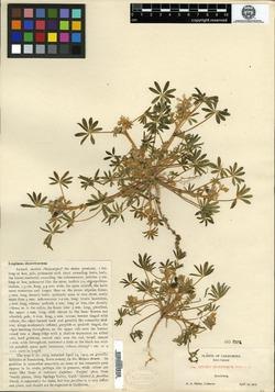 Lupinus pallidus image