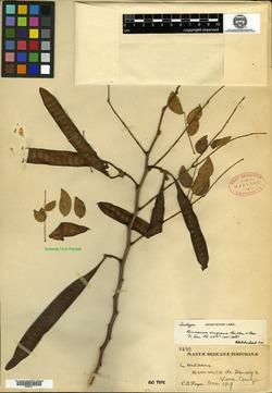 Leucaena lanceolata image