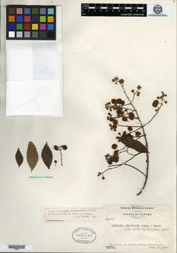 Leucaena multicapitula image
