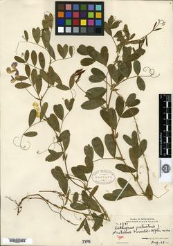 Lathyrus palustris var. retusus image
