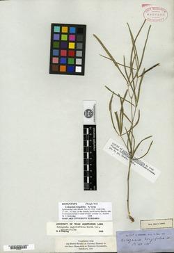 Cologania angustifolia image