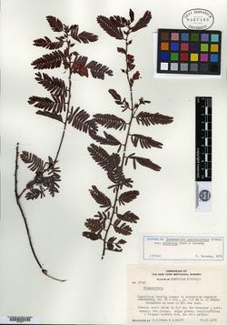 Chamaecrista portoricensis image