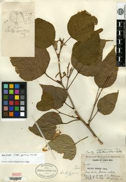 Croton niveus image