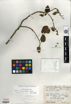 Croton pungens image