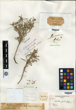 Image of Croton gracilis