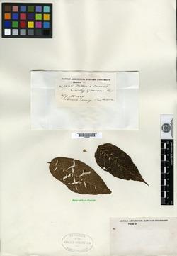 Croton billbergianus image